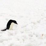日本で一番北に居るペンギンは?