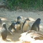 海外のペンギンツアー@オーストラリア メルボルン