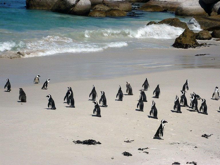 海外のペンギンツアー@南アフリカ ケープタウン