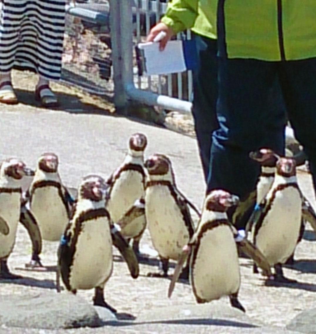 ペンギンの散歩@小樽水族館