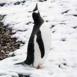 続・ペンギンって暖かい所でも大丈夫なの?