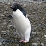 ペンギンって暖かい所でも大丈夫なの?