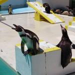北海道の水族館でどのペンギンに会えるのか