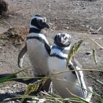 海外のペンギンツアー@アルゼンチン バルデス半島、プンタ・トンボ
