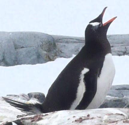 海外で野生のペンギンに会える国はどこ?