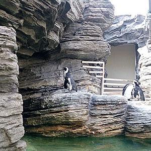 50羽以上のケープペンギン@サンシャイン水族館