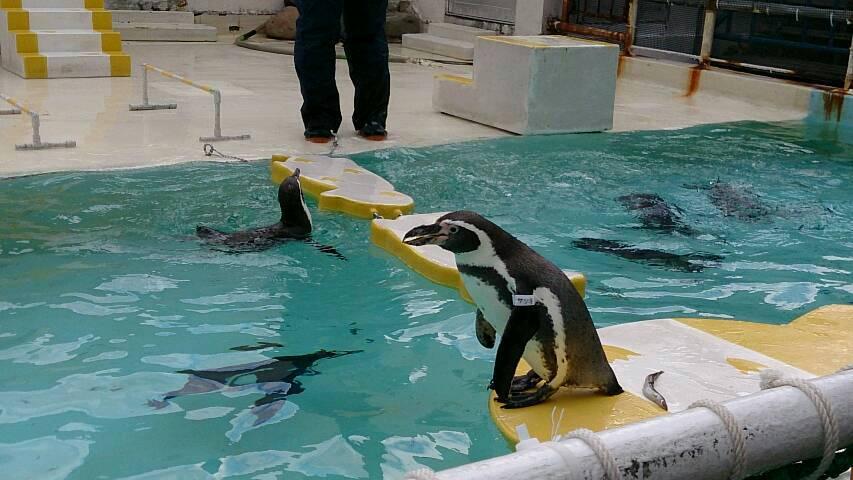 小樽水族館の自由すぎるペンギンショーが自由すぎた件