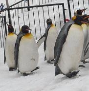 ペンギンに学ぶ滑らない歩き方