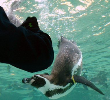 penguin_swim