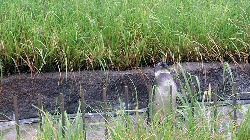 サンシャイン水族館の雛ペンギン