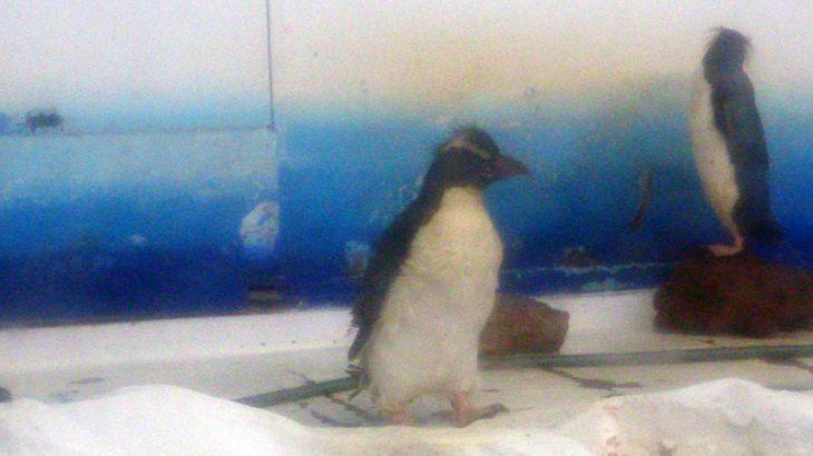 こちらも換羽中のイワトビペンギン@サンピアザ水族館