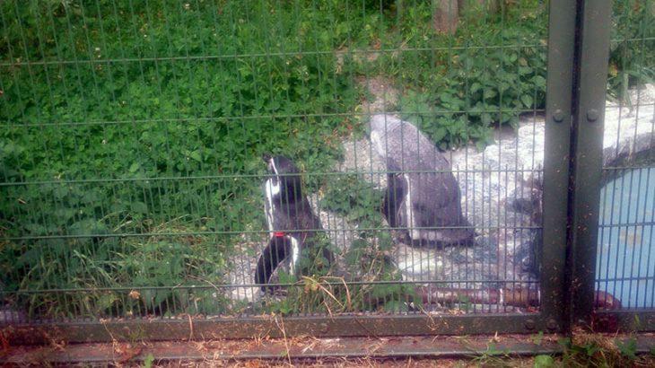 円山動物園のフンボルトペンギン~換羽コレクション2018