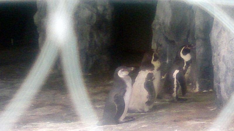 円山動物園のフンボルトペンギン3
