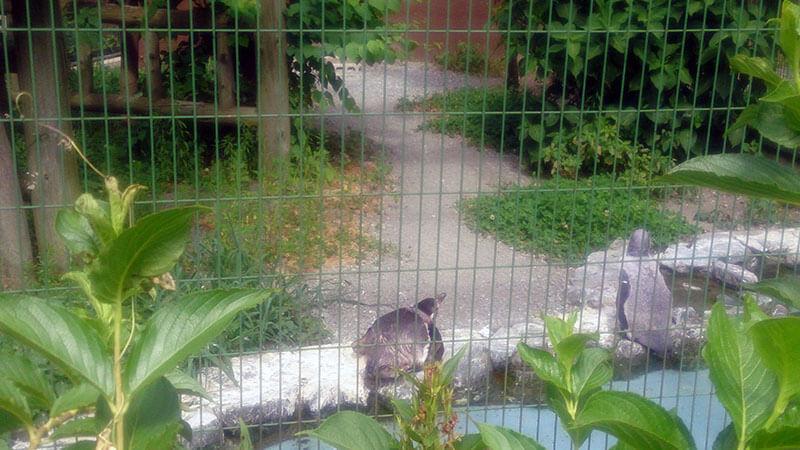 円山動物園のフンボルトペンギン2